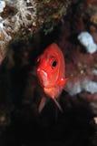 Silverspot squirrelfish Royalty Free Stock Photo