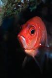 Silverspot squirrelfish Stock Images