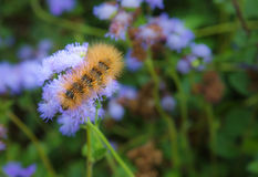 Silverspotted Tiger Moth Caterpillar Stock Images