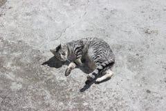 Silverstrimmig kattkatt Arkivbild