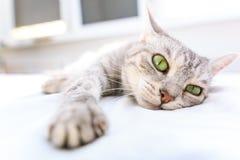 Silverstrimmig kattkatt som ligger på en säng Royaltyfri Foto