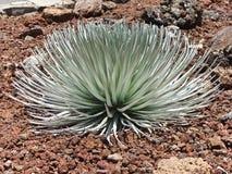 Silverswood växt Hawaii arkivbilder