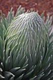 Silversword花在Haleakala国家公园 库存照片