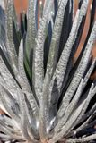 Silversword 1 Foto de Stock Royalty Free