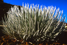 Silversword Stock Image
