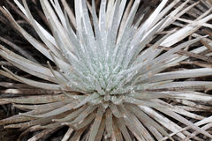Silversword Immagine Stock
