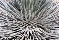 Silversword 3 Royalty Free Stock Photo