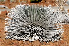 Silversword 4 Foto de Stock