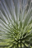 Silversword Royalty Free Stock Image