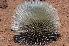 Silversword Stock Foto's