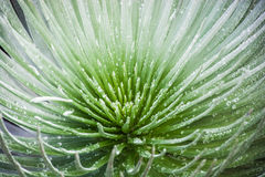 Silversword Photographie stock