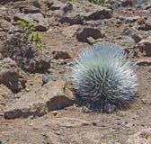 Silversword (Ahinahina) växt i den Haleakal nationalparken Arkivbild