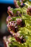 Silversword Argyroxiphiumsandwicense Fotografering för Bildbyråer
