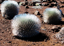 Silversword cactus Royalty Free Stock Image