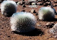 Silversword cactus. At Haleakala volcano Royalty Free Stock Image