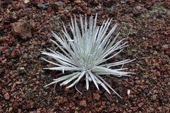 silversword della pianta Immagine Stock