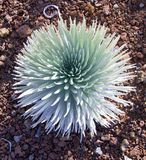 Silversword di Haleakala Fotografia Stock