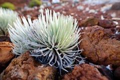 Silversword di Haleakala, endemico di fioritura altamente pericoloso della pianta all'isola di Maui, Hawai Fotografie Stock