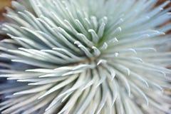 Silversword di Haleakala, endemico di fioritura altamente pericoloso della pianta all'isola di Maui, Hawai Immagine Stock