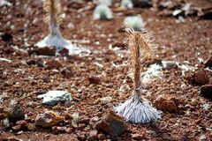Silversword di Haleakala, endemico di fioritura altamente pericoloso della pianta all'isola di Maui, Hawai Sottospecie del sandwi Immagine Stock Libera da Diritti