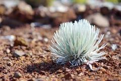 Silversword Haleakala, сильно угрожаемое эндемическое заболевание цветкового растения к острову Мауи, Гаваи Стоковые Изображения RF