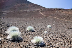 Silversword Stock Photography