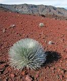 Silversword nel parco nazionale di Haleakala Immagine Stock