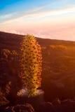 Silversword pericoloso della pianta Fotografia Stock