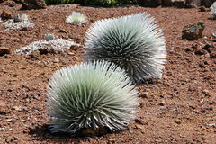 Silversword Plant Royalty Free Stock Photos