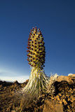 Silversword plant in flower, Haleakala National Park, Maui, Hawaii Royalty Free Stock Photos