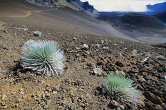 Silversword Plant, Haleakala National Park Stock Photo