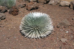 Silversword Plant on Haleakala Volcano. A rare silversword plant growing in cinder soil on Haleakala Volcano on the tropical island of Maui, Hawaii royalty free stock images
