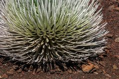Silversword royalty free stock photo