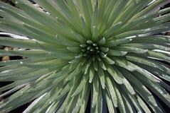 Silversword w parku narodowym Haleakala w Hawaje zdjęcie royalty free