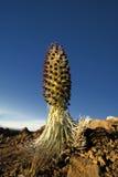 Silverswordinstallatie in bloem, het Nationale Park van Haleakala, Maui, Hawaï Royalty-vrije Stock Foto's
