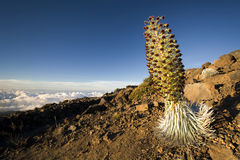 Silverswordinstallatie in bloem, het Nationale Park van Haleakala, Maui, Hawaï Stock Foto