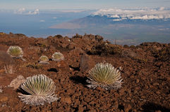 Silverswords on Haleakala over Maui Royalty Free Stock Photo