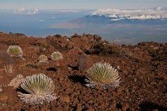 Silverswords op Haleakala over Maui Royalty-vrije Stock Foto