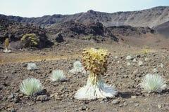 Silverswords på Haleakala Arkivbild