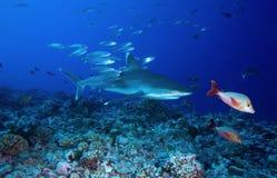 SILVERTIP SHARK / carcharinus albimarginatus Royalty Free Stock Image
