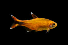 Silvertip tetra Stock Photo
