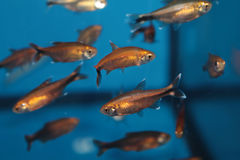 Silvertip tetra (Hasemania nana) aquarium fish Stock Photos