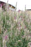 Silvertuppkam för Celosia argentea/ Royaltyfria Bilder