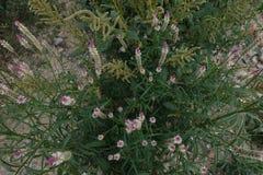 Silvertuppkam för Celosia argentea/ Arkivbilder