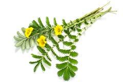 Silverweed de la planta medicinal (anserina del Potentilla) Fotos de archivo