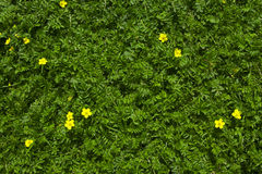 Silverweed green grass with yellow flowers background Royalty Free Stock Photography