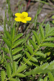 Silverweed Royalty Free Stock Photography