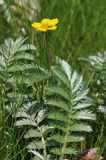 Silverweed Royalty Free Stock Image