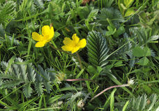 Silverweed Stock Images