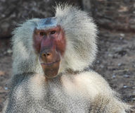 The silvery baboon smiles to spectators Stock Photography